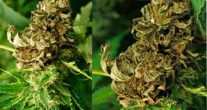 cannabis-fungus