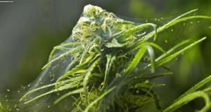 spider-mite-cannabis-webbing-sm