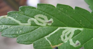 leaf-miners-on-marijuana-plant