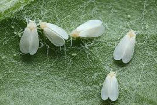 white-flies-on-cannabis-plant