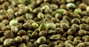 germinate-marijuana-seeds