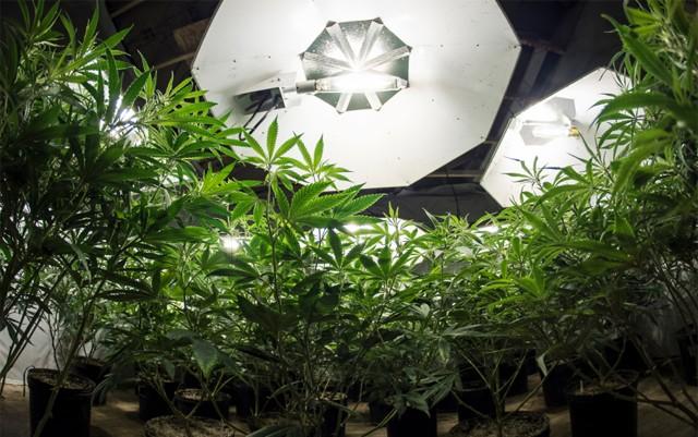 can-small-timers-outgrow-big-marijuana