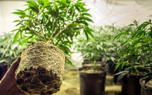 louisiana-universities-might-get-to-grow-medical-marijuana-and-hemp