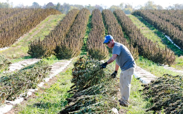 ohio-and-michigan-could-benefit-from-growing-hemp