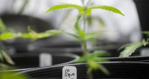 louisiana-approves-medical-marijuana-expansion