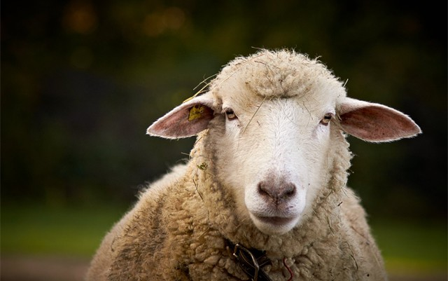 uk-tabloids-stoned-sheep-go-on-rampage-after-consuming-cannabis