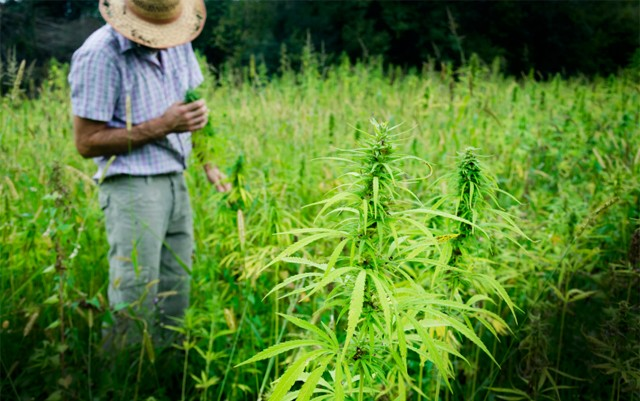 west-virginia-will-grow-hemp-for-first-time-since-wwII