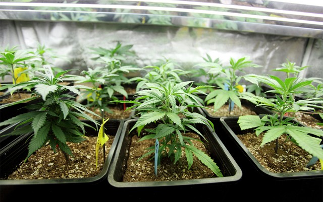 cannabis-needs-calcium