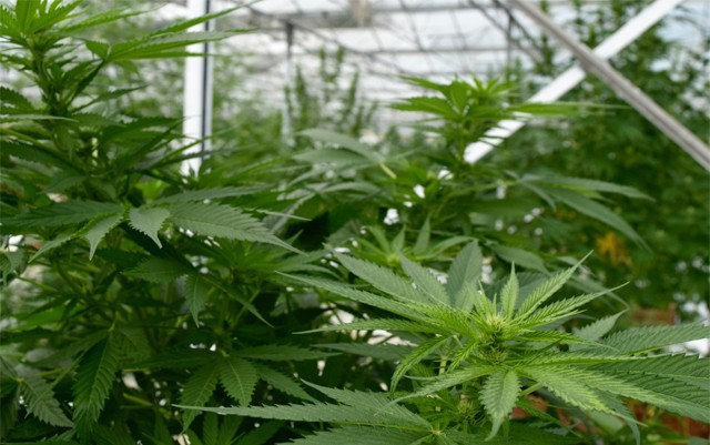 dutch-study-says-cannabis-cultivation-would-boost-human-rights