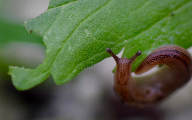 get-rid-of-slugs-in-cannabis-garden