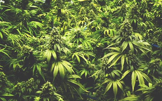 oregon-looks-to-set-standard-for-cannabis-cultivation