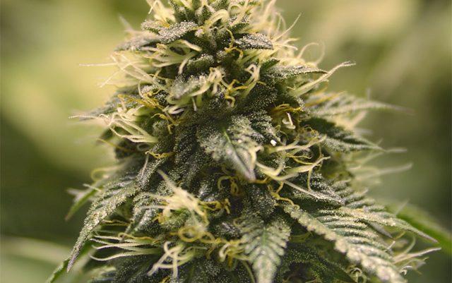 marijuana-may-treat-ALS