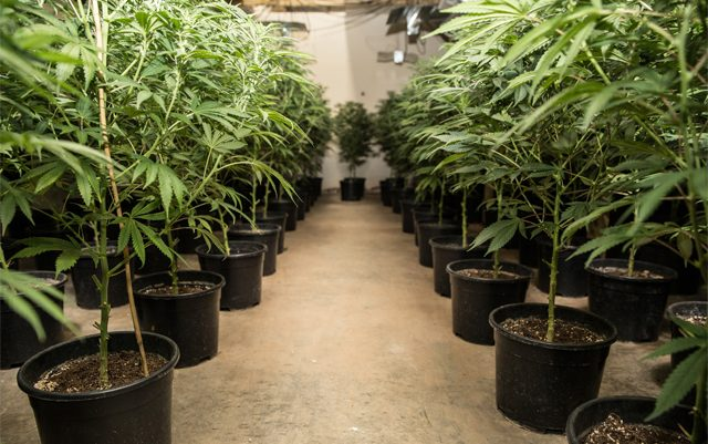 oregon-state-fair-will-feature-prize-winning-cannabis-plants
