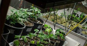 organic-soil-for-cannabis