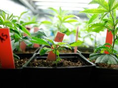 growing-your-own-strain-the-basics-of-cannabis-breeding