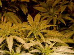 which-method-of-growing-marijuana-is-best