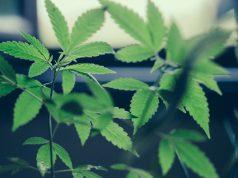 cannabis-as-a-treatment-for-ibd
