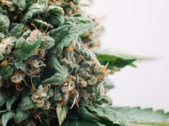 what-is-the-shelf-life-of-cannabis