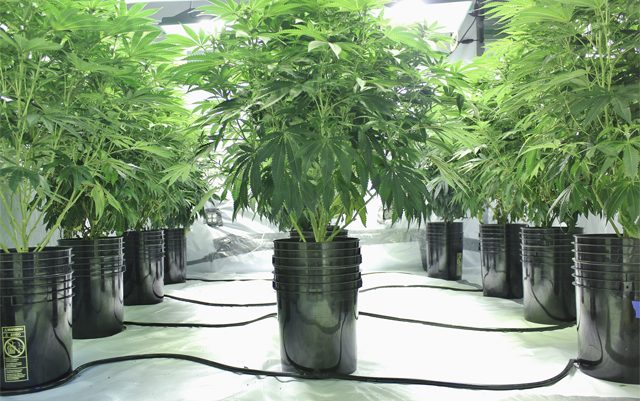 why-is-the-dea-still-spending-millions-to-pull-up-marijuana-plants