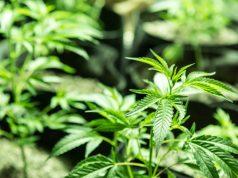 your-cannabis-plants-need-boron