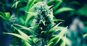 cannabis-as-a-treatment-for-psoriasis