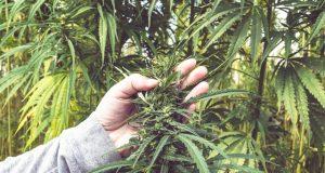 seeking-hemp-experts-for-a-productive-future