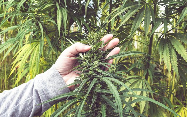 seeking-hemp-experts-for-a-productive-future
