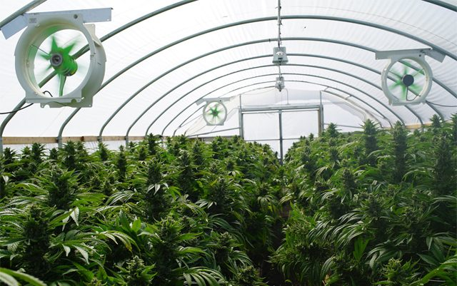 fl-licenses-seventh-nursery-for-medical-marijuana-production