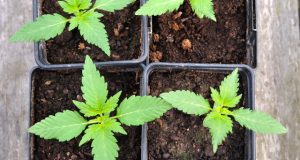 growing-equipment-businesses-in MA-see-uptick-in-sales-after-legalization
