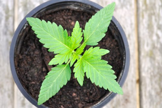 why-your-cannabis-plant-needs-sodium
