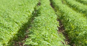 cannabis-plants-found-growing-near-british-legoland-theme-park