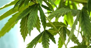 MA-approves-300K-for-cannabis-industry-start-up