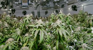 canadian-cannabis-supplier-gets-new-CEO-after-pesticide-scandal