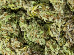 report-says-marijuana-flowing-out-of-oregon-to-black-market