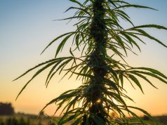 native-american-tribes-in-nevada-want-to-get-in-on-legal-marijuana