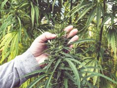 NC-tobacco-farmers-switching-to-hemp