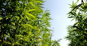 30-states-with-US-hemp-legislation