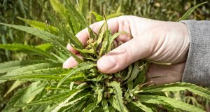 is-making-ethanol-from-hemp-a-real-possibility