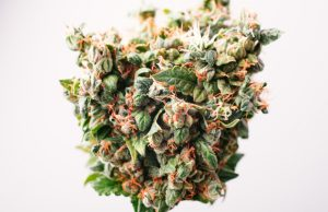 cannabis-to-treat-cachexia-in-cancer-patients