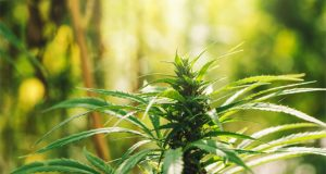 industrial-hemp-measure-unanimously-passed-by-US-senate