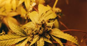 haze-square-pro-the-professional-herbal-marijuana-vaporizer