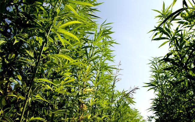 minnesota-farmer-plants-first-ever-halloween-hemp-maze