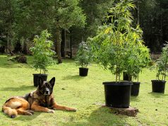 benefits-of-CBD-oil-for-dogs-simple-wag