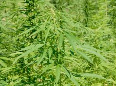 could-legalizing-hemp-mean-federal-cannabis-legalization-is-not-far-off