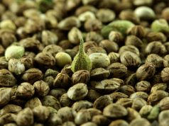 feminized-and-autoflowering-what-kind-of-seeds-are-best-for-you-royal-seed-bank