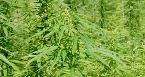 hemp-vs-marijuana-the-main-difference-you-need-to-know