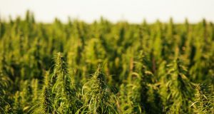 florida-lawmakers-advance-industrial-hemp-bill