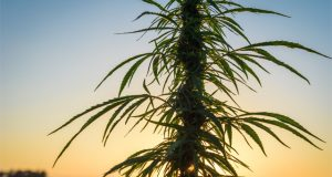 native-american-tribes-look-for-entry-into-the-california-marijuana-market