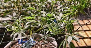 the-battle-of-the-marijuana-markets