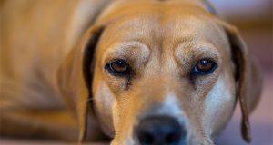 how-CBD-oil-can-help-relieve-your-dogs-chronic-pain-dog-dream-cbd